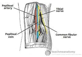 Nerves In The Knee Anatomy The Popliteal Fossa Borders Contents Teachmeanatomy