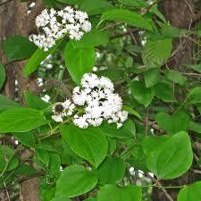 native plants of arkansas decumaria barbara climbing hydrangea planting design