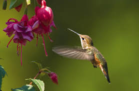 using georgia native plants hummingbird favorites in my garden wild birds unlimited when to put up hummingbird feeders and other