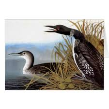 common loon gifts on zazzle