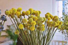 Billy Balls 40 Stems Craspedia Billy Balls Billy Buttons Yellow Dried Decor