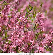 ornamental almond stock photos ornamental almond stock images