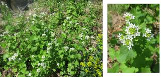 the foraged foodie why you should forage u0026 eat garlic mustard
