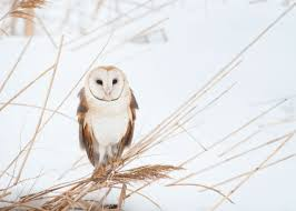 Barn Owl Photography Is Flash Photography Safe For Owls Audubon