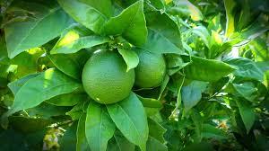 free photo lemon tree lime green nature free image on