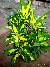 crotons ornamental plants at rs 100 ornamental and