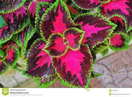 19 no sun plants sempervivum tectorum greenii quot hens amp