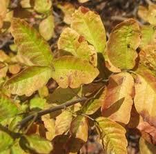 poison oak appreciation dave u0027s garden