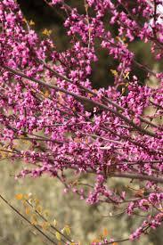 redbud native plant nursery western redbud monrovia western redbud