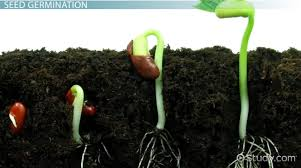 what is seed germination definition process steps u0026 factors