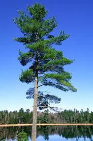 white pine trees white pine on lake agnes shore mn minnesota shore