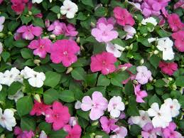 impatiens flowers impatiens flowers seeds mix great for shaded area