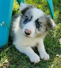 belgian shepherd or border collie collie dog shipping rates u0026 services