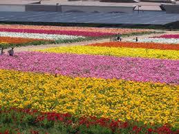 carlsbad flower garden day 7 u2013 the flower fields in carlsbad at home in carlsbad