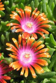 high heat plants 25 unique ice plant ideas on pinterest purple ground cover sun