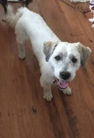 affenpinscher a vendre quebec griffon adopt local dogs u0026 puppies in canada kijiji classifieds
