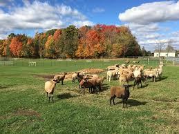 belgian sheepdog association akc herding trial belgian sheepdog club of america