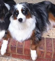 australian shepherd with blue eyes i love australian shepherds with blue eyes dogs pinterest