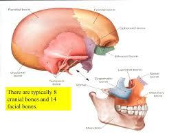 Human Anatomy Skull Bones What Are The 22 Skull Bones Socratic