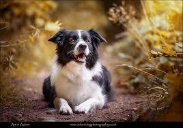 australian shepherd uk photos of dogs dog pictures dog portraits dog photos dog