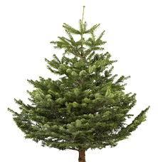 small nordman fir cut christmas tree departments diy at b u0026q