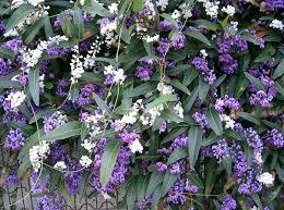 australian native plants with purple flowers hardenbergia violacea wikipedia gardening pinterest plants