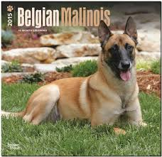 belgian shepherd video belgian malinois 2015 square 12x12 browntrout 9781465033819