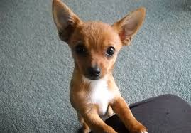 affenpinscher and chihuahua 14 ridiculously cute chihuahua mixes you have to see to believe