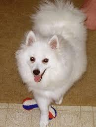 american eskimo dog growling my toy american eskimo puppy cute animals pinterest american