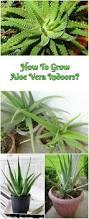 the 25 best growing aloe vera ideas on pinterest aloe