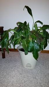 Peace Lily Diagnosis Peace Lily Dying Please Help Gardening