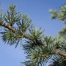 specimen conifers ornamental conifer trees woodlands