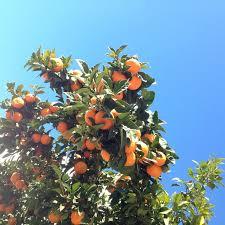 best 25 citrus trees ideas on kumquat fruit tree