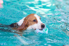little beagle dog swimming pool stock photos 42 images