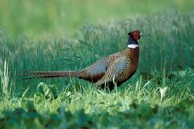 ring necked pheasant mdc discover nature