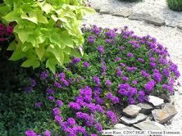 verbena flower hgic 1175 verbena extension clemson south carolina