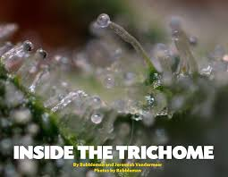 marijuana trichomes inside the trichome cannabis culture
