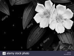 flower bloom open black white beautiful offset flower blossom stem