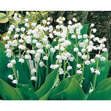 shop 8 count lily of the valley l8114 at lowes com