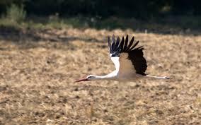 alsace storks the white storks of alsace travel blog