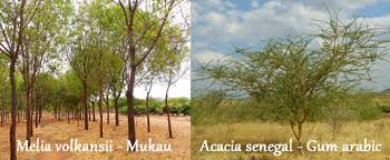 commercial dryland trees melia volkensii and acacia senegal