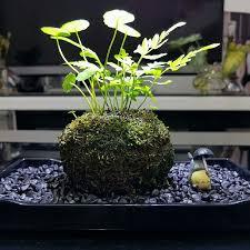 wabi kusa kokedama concept indoor plant office plant terrarium