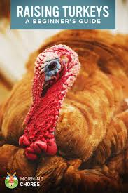 raising turkeys how to raise turkeys for and profit