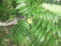 What Fruit Trees Grow In Texas - foraging texas black walnut