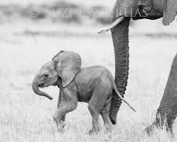 home decorators elephant her safari baby animals photo set black and white baby animals