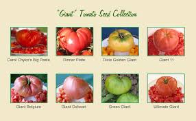 Types Of Patio Tomatoes Gary Ibsen U0027s Giant Tomato Seed Collection