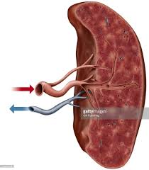Anatomy Pancreas Human Body Spleen Anatomy Location Choice Image Learn Human Anatomy Image