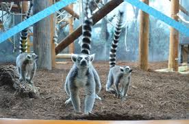 henry vilas zoo christmas lights lemurs aardvarks and birds oh my new addit dane county