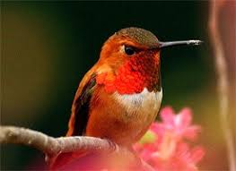 rufous hummingbird life history all about birds cornell lab of