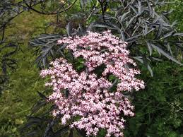 black lace sambucus how to grow and care for sambucus nigra